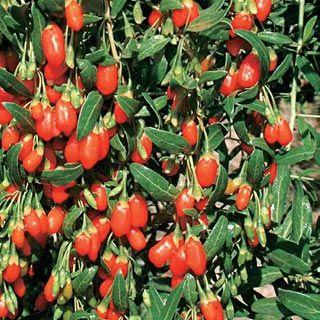 goji berries calgary