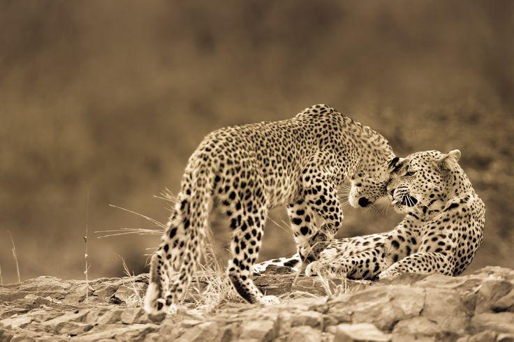 BITTER SWEET AFFECTION   Solitude and offspring resound success amongst leopards