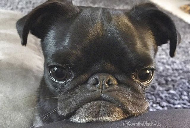 Get to know the human behind Gwen the Black Pug in the latest pug parent profile. http://www.thepugdiary.com/pug-parent-profile-nikki/