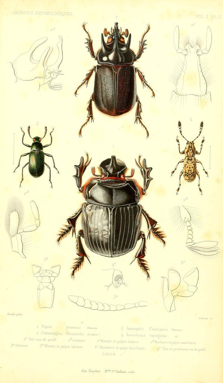 T.2 - Archives entomologiques, ou, Recueil contenant des illustrations d'insectes nouveaux ou rares / - Biodiversity Heritage Library