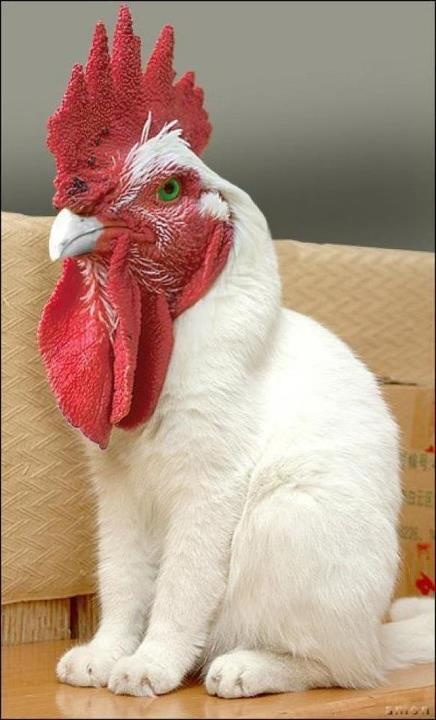 This picture is fake but it's cute! I think I'd like a rooster-chicken-cat!