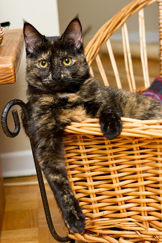 Beautiful tortoiseshell just hanging out ♥