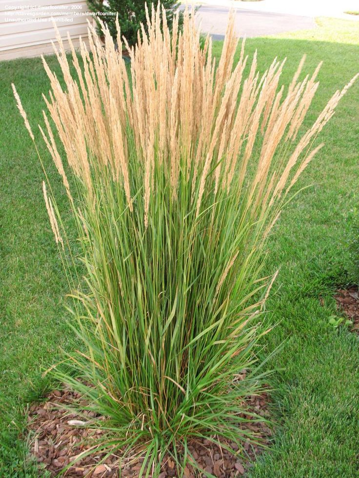 "Calamagrostis acutiflora Karl Foerster's Feather Reed Grass Ht. 36-49"" and upwards of 60"" when it flowers in June"