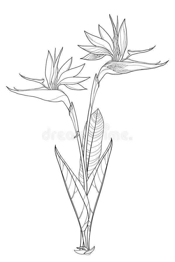 Vector Bunch Of Outline Tropical Strelitzia Reginae Or Bird Of Paradise Flower Bunch And Ornate Lea In 2020 Birds Of Paradise Flower Bunch Of Flowers Birds Of Paradise