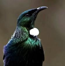 The Tui is an indigenous New Zealand bird, and a national symbol. It is unique in having two voice boxes, allowing it to mimic many different birdsongs and other sounds (including human); also giving it a distinctive and quirky song.