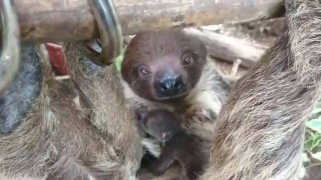 Wendy il bradipo è mamma: cucciolo a sorpresa nel Parco Natura Viva di Bussolengo