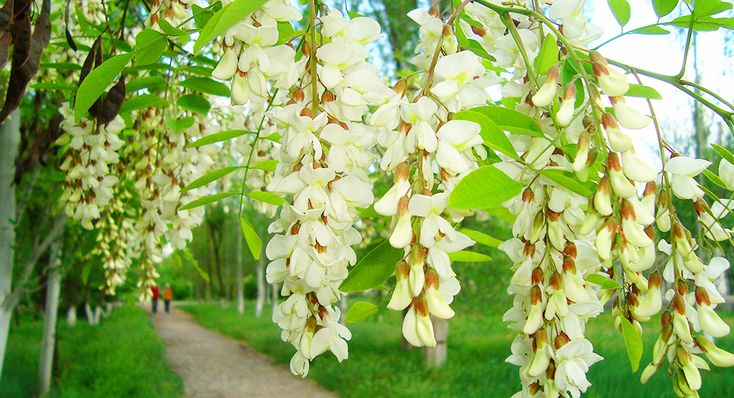 Целебные свойства цветущей Акации. | Родобожие