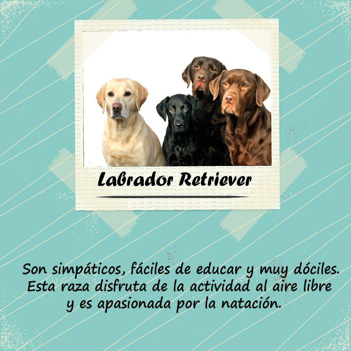 ¿Quieres un perro fiel y familiar?  El Labrador Retriever es el indicado y lo puedes encontrar en diferentes colores.