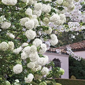 Chinese snowball is one of spring's showiest shrubs. White flower clusters 6 to 8 inches across festoon its branches in late spring. The plant gets big—12 to 20 feet tall and wide. Though it looks like a hydrangea, it's actually a viburnum.    Chinese Snowball Planting Guide  Where to Plant: Find a prominent spot where it will have room to grow.  How to Grow: Give it full to partial sun and fertile, well-drained soil. Prune, if necessary, just after it finishes flowering in spring.
