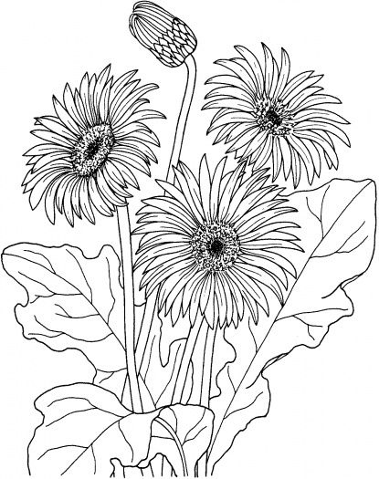 Gerbera Flower Coloring Pages For Teenagers