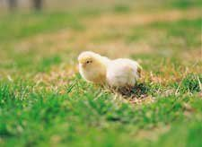 Lessons  Tools  Collections  Afterschool  Science News    Hatching Chickens