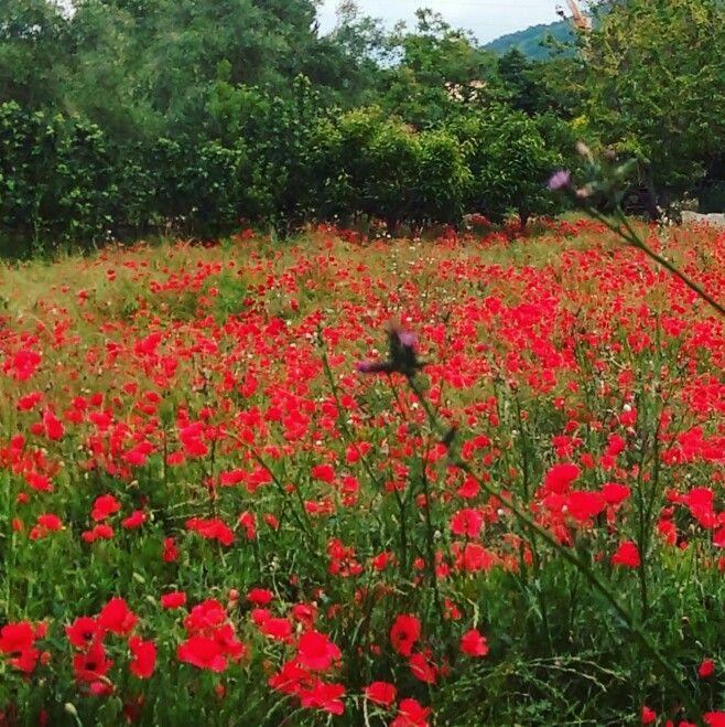 La bellezza della semplicità #ilovegardens  #myheart #poppys  #lenostredomenicheinsieme  #papaveri #flowers #fioridicampo #followme #laleggendadelpapavero #istaphoto #i #fotografia #reportage #nature #natura #world  #terra #creativemamytravel