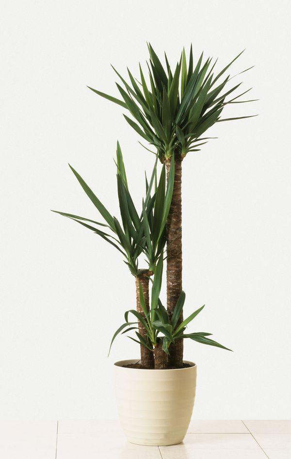 Indoor Trees That Make A Statement Indoor Tree Plants Yucca Plant Indoor Plant Decor Indoor