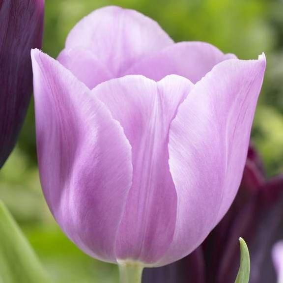 Triumph Tulip 'Alibi'