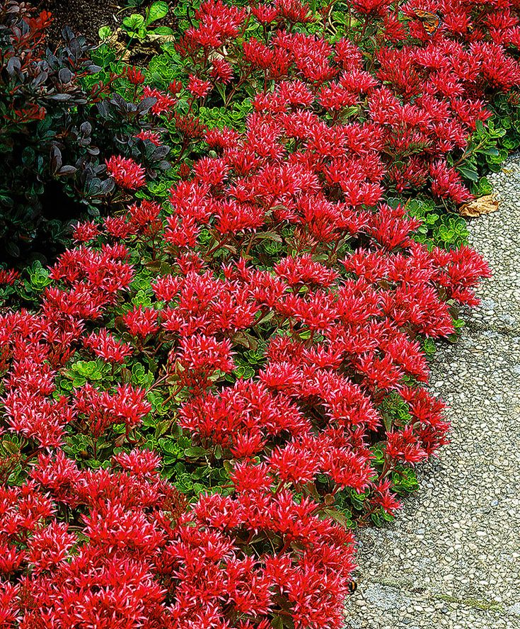 Red Stonecrop (Sedum Spurium 'Schorbuser Blut') - a very attractive border plant that does not mind the shade & can be used as a ground cover under trees & shrubs.