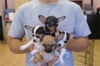 Regali chihuahua cuccioli