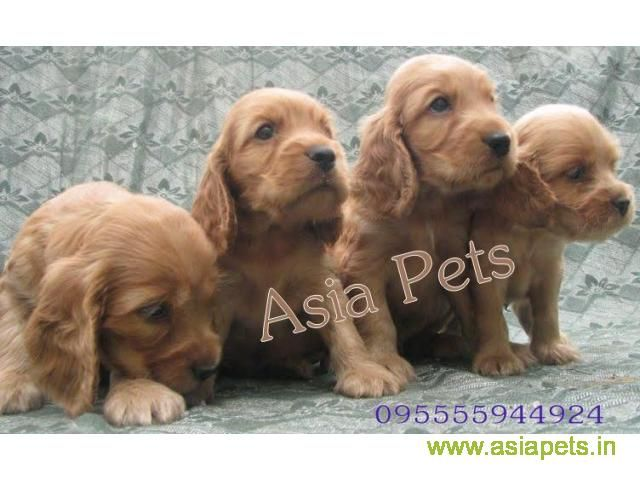 Cocker Spaniel Puppy For Sale Good Price In Delhi Spaniel