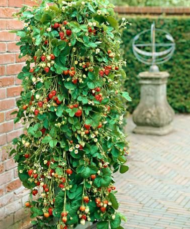 The fast-growing runners of this trailing strawberry variety can easily be trained along a trellis. Fragaria x ananassa Bakker's 'Kingsize' produces delicious fresh strawberries from June to October. Spectacular in a large container on the patio or decking.