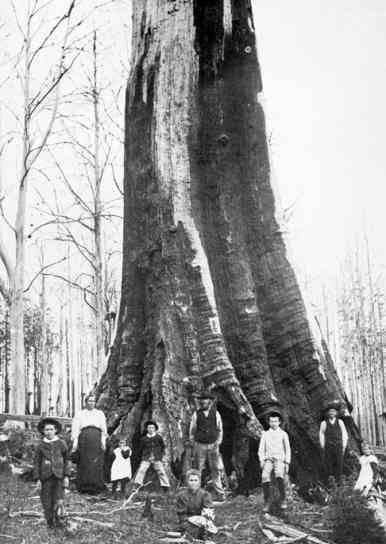 This family set up home in a giant dead tree. Note the post and rail fences each side of the tree depicting a boundary for their home. Australia.