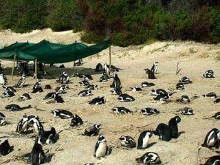 Boulders Beach, os pinguins Sulafricanos!