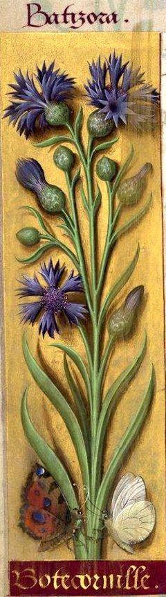 Botecornille - Batizora (Centaurea Cyanus L. = bleuet) -- Grandes Heures d'Anne de Bretagne, BNF, Ms Latin 9474, 1503-1508, f°20v