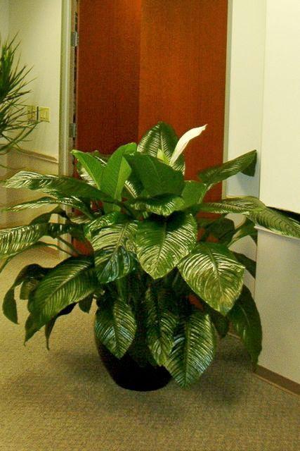 Houstonu0027s Online Indoor Plant U0026 Pot Store   Large Spath Sensation, Closet  Plant, Peace