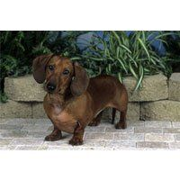 Dachshund Patio Scene Floor Mat by Breed Specific Floor Mats. $21.99. The Dachshund Patio Scene Floor Mat is a perfect way to welcome anyone into your home. Show off your love for dogs with these photographed, highly detailed floor mats. It can be used indoors or out, underneath your dogs food bowls and any entryway. Each floor mat has a rubber backed non-skid weather friendly bottom and is soil resistant.