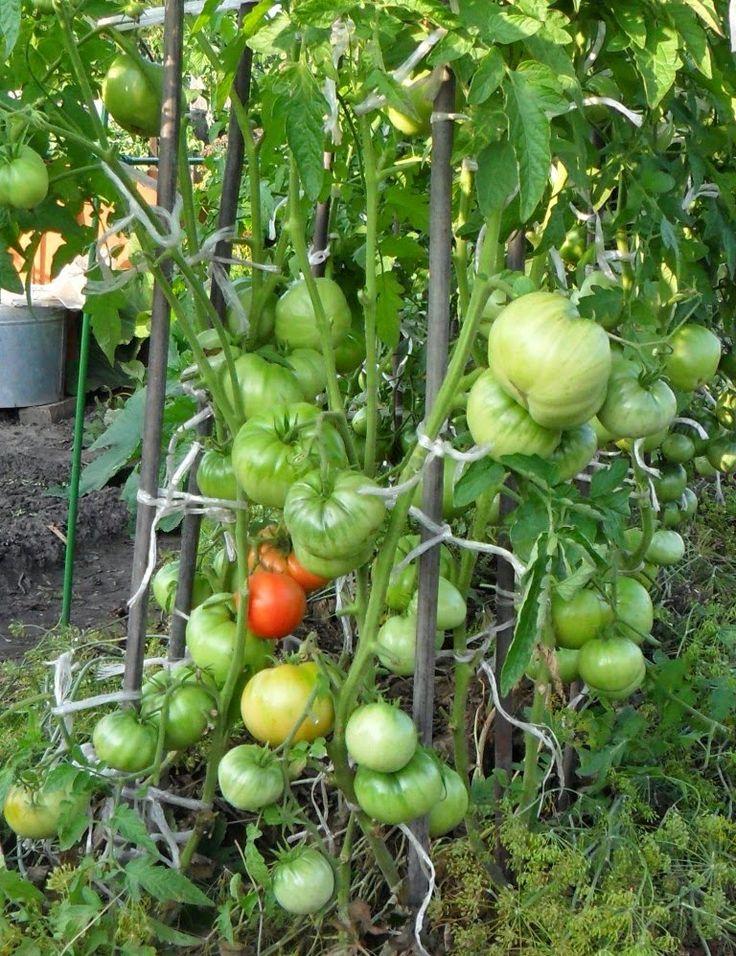 Выращивание помидоров по два корня в лунке: личный опыт