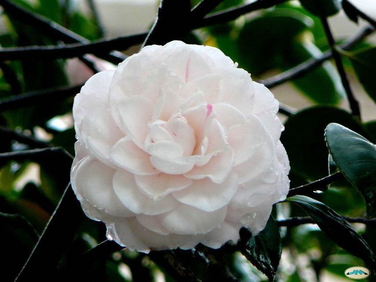 Significado #flor #Camelia: simboliza la belleza perfecta.