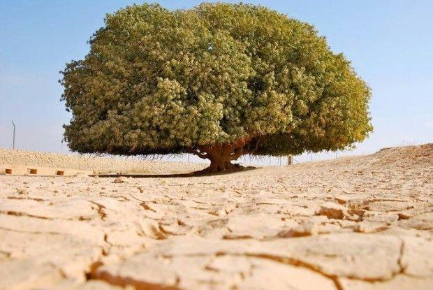 1400 ročný strom v strede nehostinnej púšte Jordánu
