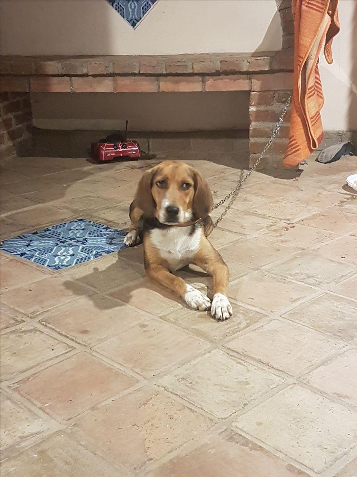 Padova: REGALO CAGNOLINA SIMIL BEAGLE HARRIER: #regalo #cuccioli #beagle #padova Vai all'annuncio: