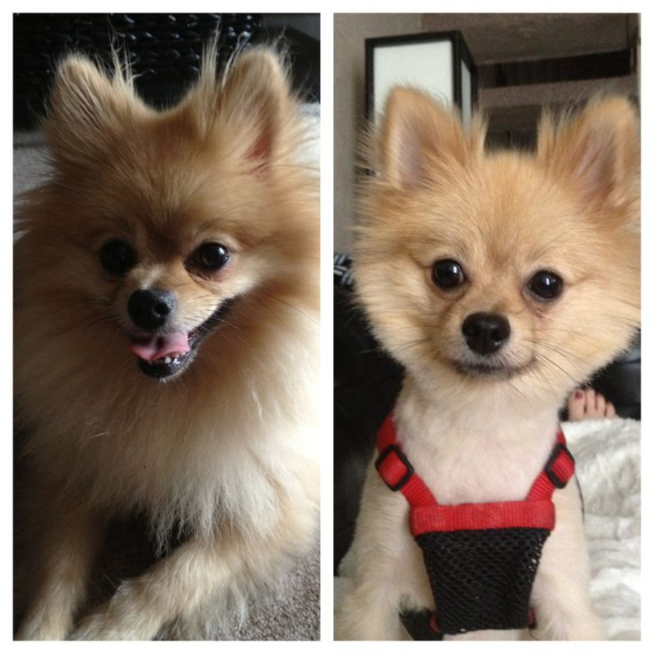 Pomeranian before and after haircut pics. Yup that really ...
