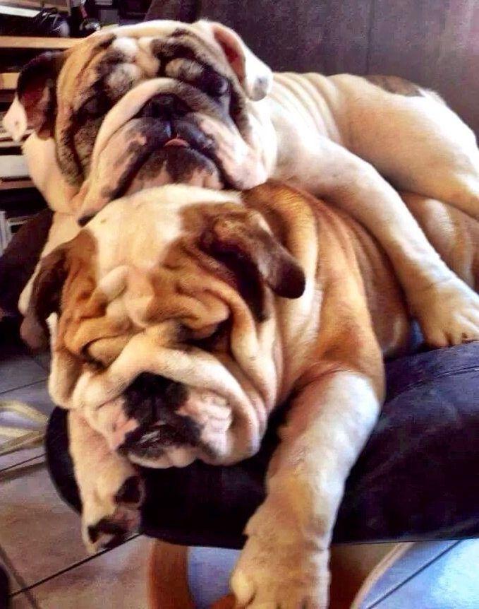 English Bulldog I want one!!!