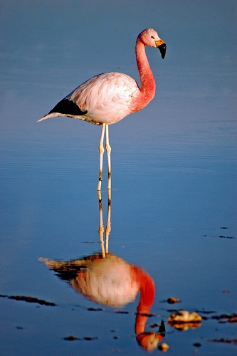Chilean flamingo, Atacama salar, North of Chile.
