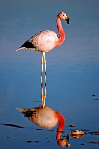 Chilean flamingo, Atacama salar, North of Chile.
