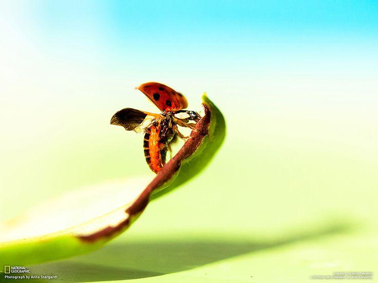 Fotografia di Anita Stargardt  Ci è voluto molto tempo perché questa coccinella si decidesse a volare via. Ma valeva la pena aspettare!