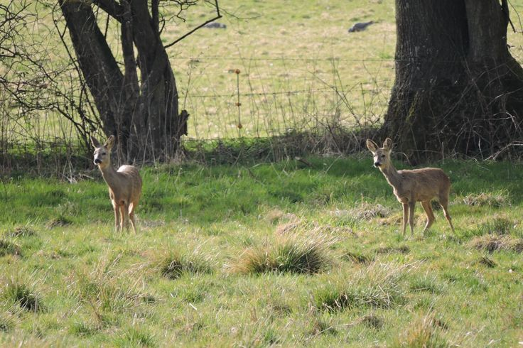 Roe deer near the Wey & Arun Canal, Newbridge, Billingshurst, West Sussex