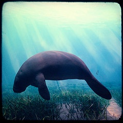 Manatee Picture Used on NSVH for November Manatee Awareness