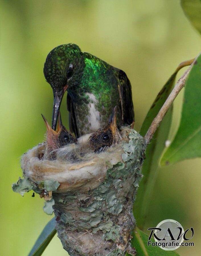 Hummingbird feeding - ...