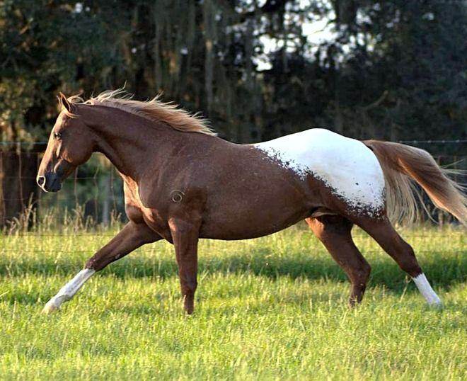 Appaloosa stallion.
