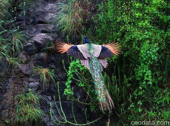 孔雀って飛ぶと火の鳥みたい | 画像