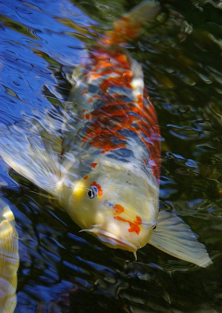 35 best images about koi fish on pinterest japanese koi for Koi and pool