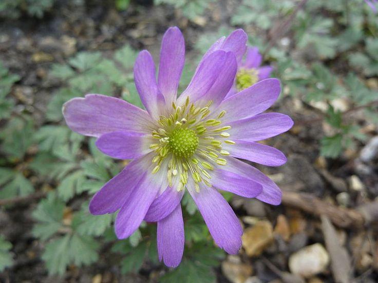 Anemone blanda 'Violet Star' (Ranunculaceae)