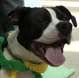 Evansville, IN - Boxer/American Staffordshire Terrier Mix. Meet Clyde, a dog for adoption. http://www.adoptapet.com/pet/19091037-evansville-indiana-boxer-mix