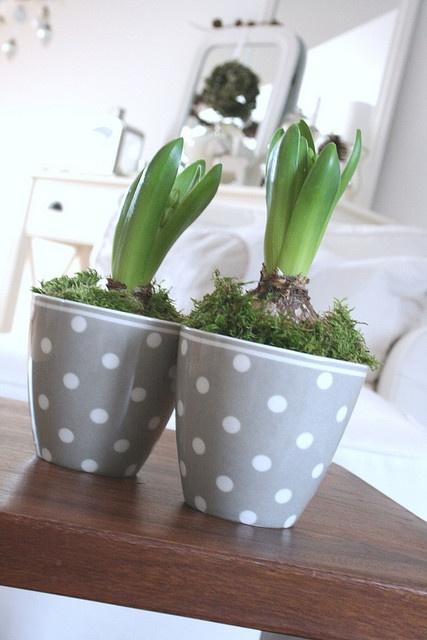forced bulbs in grey dot pots