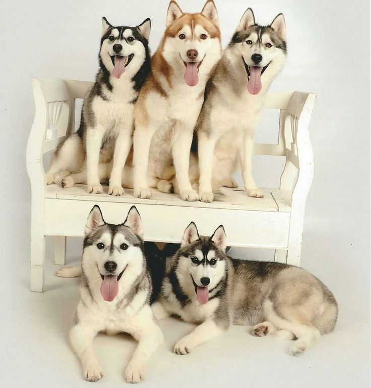 Best Husky Images On Pinterest Alaskan Husky Comment And Friends - Guy quits his job to go on epic adventures with his husky