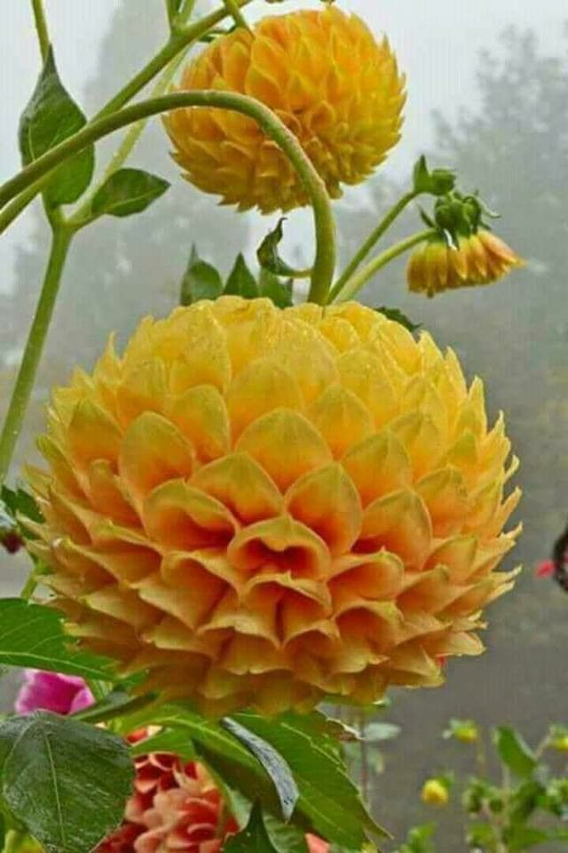 Top heavy dahlias