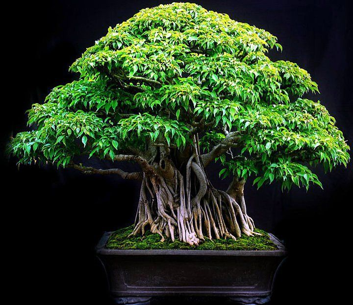 how to grow bonsai plants in india