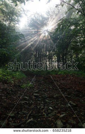Sunlight rays through the foggy forest