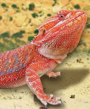 Complete Habitat, Heating, Lighting, Substrate, Nutrition and Information on Bearded Dragons. Check out more on our website: http://www.zoomed.com/